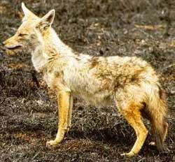 Chacal dorado (canis aureus)