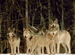 Grupo de lobos