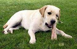 Cachorro alimentandose con dieta cruda
