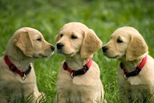 Cachorros de 9 semanas